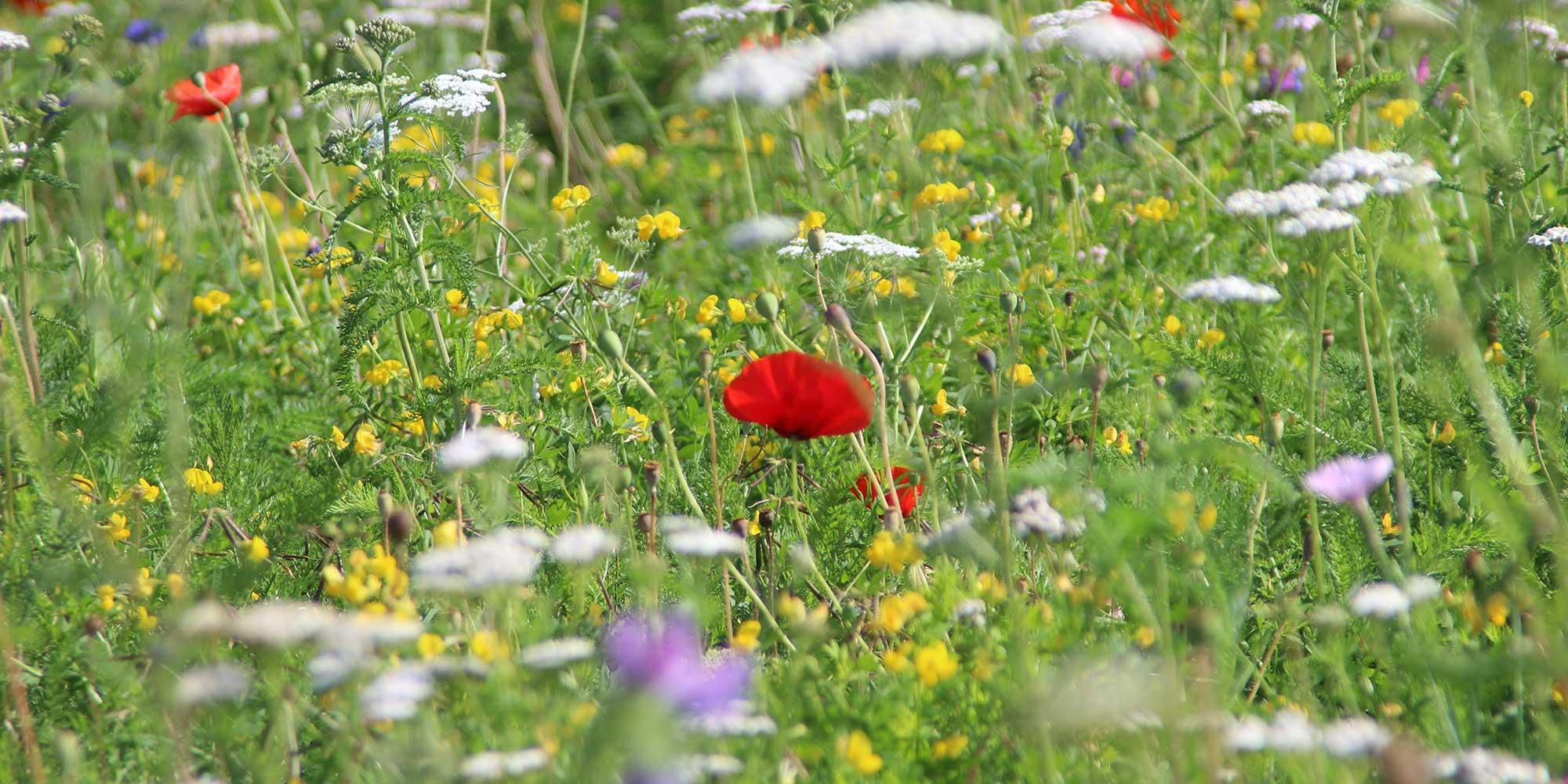 Wildflower Turf Photo